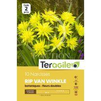 10 Narcisses Rip Van Winkle Teragile