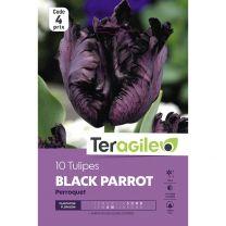 10 Tulipes Black Parrot Perroquet Teragile