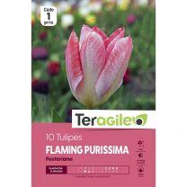 10 Tulipes Flaming Purissima Fosteriana Teragile