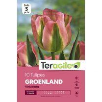 10 Tulipes Groenland Viridiflora Teragile