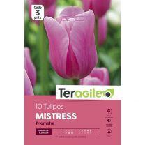10 Tulipes Mistress Triomphe Teragile