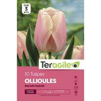 10 Tulipes Ollioules Darwin Hybrid Teragile