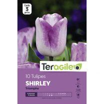 10 Tulipes Shirley Triomphe Teragile