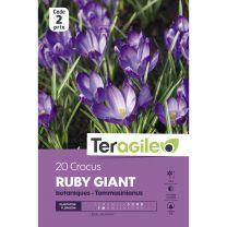 20 Crocus Ruby Giant Tommasinianus Teragile