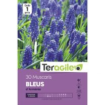 30 Muscaris Bleus D'Arménie Teragile