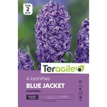 4 Jacinthes Blue Jacket Orientales Teragile