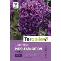4 Jacinthes Purple Sensation Orientales Teragile