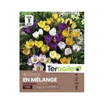40 Crocus Botaniques Mélange Teragile