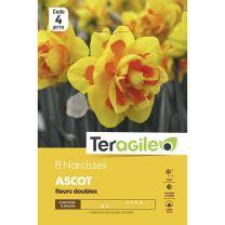 8 Narcisses Ascot Teragile