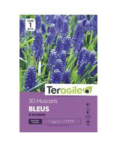 pointvert-est-30-muscaris-bleus-darmenie-teragile-ve4084_1.jpg