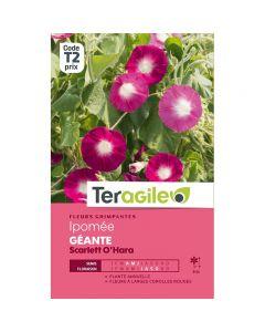 pointvert-est-graines-teragile-ipomee-geante-scalett-ohara-ja1660_1.jpg