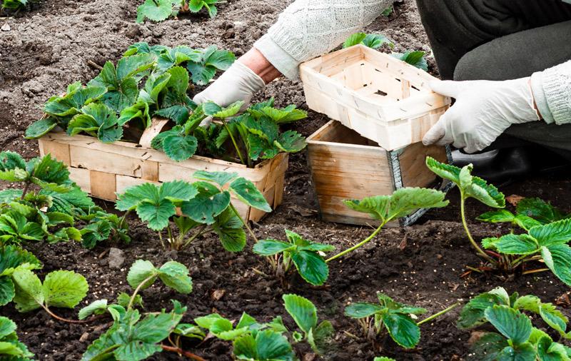 Planter et entretenir les fraisiers | Point Vert Est